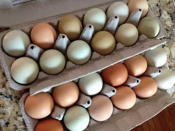 african grey parrot eggs for sale